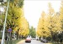 Nao lòng sắc Thu vàng đến muộn ở Tokyo