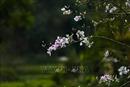 Tinh khôi hoa ban rừng Tây Bắc