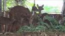 Nhà nông nuôi hươu 'hái lộc'đầu Xuân