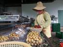 Trái cây sạch cho thị trường nội địa