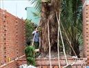 Tìm thấy cây giáng hương cổ thụ bị đào trộm trong rừng phòng hộ Dầu Tiếng
