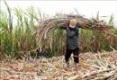 Nông dân Sóc Trăng chuyển đổi cây trồng do giá mía xuống quá thấp