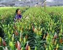 Làng hoa Tây Tựu rộn ràng chuẩn bị mùa hoa Tết Canh Tý