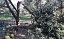 Hàng chục tấn sầu riêng rơi rụng la liệt do lốc xoáy