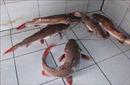 Xây dựng thương hiệu cá lăng đuôi đỏsông Sêrêpốk