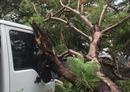 Thêm vụ cây phượng bật gốc đè xe tải trong cơn mưa lớn tại TP Hồ Chí Minh