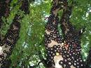 Chiết xuất từ vỏ giống nho thân gỗ giúp phòng ngừa bệnh tiểu đường