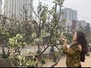 Hoa lê rừng xuống phố, phục vụ người dân Thủ đô 'chơi Tết muộn'