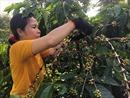 Khai mạc Ngày Cà phê Việt Nam lần thứ 2 tại thị xã Gia Nghĩa, Đắk Nông