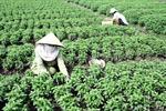 Thuốc bảo vệ thực vật vẫn là mối nguy lớn với rau