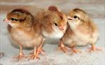 Quảng Ninh bắt hơn 10.000 con gà giống lậu