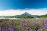 Cùng Saigontourist chinh phục những mùa hoa Nhật Bản