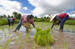 Thái Lan kêu gọi nông dân dừng trồng lúa