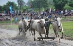 Tưng bừng Lễ hội đua bò  Bảy Núi An Giang năm 2015