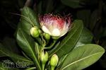 Hoa bàng vuông kiêu hãnh Trường Sa