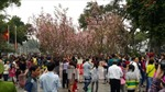 Lần đầu tiên có lễ hội Hoa Anh đào tại TP Hồ Chí Minh