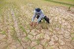 Campuchia hứng chịu đợt hạn hán tồi tệ nhất trong một thế kỷ