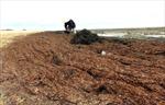 Rong biển dạt vào bờ biển Quảng Bình là hiện tượng tự nhiên