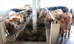 Giá bò tại Bến Tre ở mức thấp nhất 5 năm qua