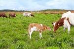 Vinamilk đạt chứng nhận trang trại bò sữa Organic đầu tiên