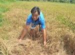 Chưa giải ngân được 79 tỷ đồng hỗ trợ nông dân sản xuất lúa bị thiệt hại