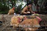 Lý do chính phủ Trung Quốc cử 5 triệu nhân viên đi đếm lợn, gà