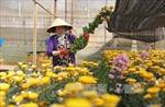 Nhà vườn Đà Lạt tất bật vào cao điểm thu hoạch hoa Tết