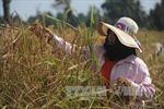 Thái Lan xem xét giảm diện tích trồng lúa