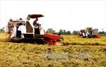 Giá lúa tăng, nông dân 'bẻ kèo' doanh nghiệp