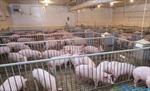 Tập đoàn Hòa Phát sẽ cung cấp lợn giống cho thị trường vào năm 2018