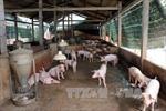 Giám sát ổ dịch tả lợn châu Phi có quy mô lớn nhất cả nước