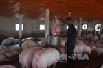 Hà Nội: Giá lợn hơi 'lao dốc' còn 15.000 đồng/kg