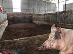 Chưa khi nào thịt lợn Việt Nam lại rẻ và sạch như hiện nay