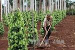 Gia Lai trồng mới hồ tiêu - Tránh đi vào vết xe đổ