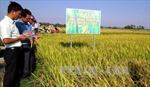 Phú Yên: Giống lúa đạt tiêu chuẩn cho năng suất vượt trội