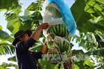 Hiệu quả kinh tế cao từ trồng chuối theo quy trình sản xuất sạch
