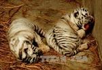Cần chấm dứt việc nuôi hổ 'bảo tồn' của 'trùm' buôn lậu động vật hoang dã