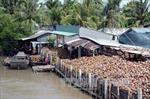 Giá dừa khô tiếp tục tăng cao