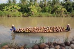 Giá dừa khô nguyên liệu tăng mạnh