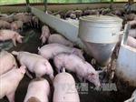 TP Hồ Chí Minh tăng cường phòng chống dịch tả lợn châu Phi và bệnh lở mồm long móng