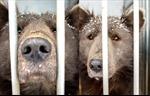 Chú chó mặt gấu gây xôn xao tại Nga