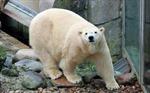 Chú gấu Bắc Cực đầu tiên chào đời tại Anh trong 1/4 thế kỷ