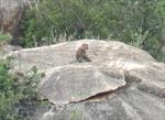 Đàn khỉ xuống núi phá hoa màu, tấn công người dân tại Ninh Thuận