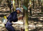 Tập đoàn Công nghiệp cao su Việt Nam sẽ bán 475,1 triệu cổ phiếu trước Tết