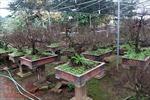 Vườn Nhất Chi Mai đẹp 'mướt mải' giữa lòng Hà Nội