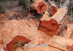 Khởi tố đối tượng liên quan vụ cưa trộm nhiều cây gỗ lớn trong rừng phòng hộ