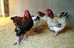 Ngắm gà Đông Tảo với cặp chân thô xấu xí giá từ 10 triệu đồng/con