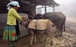 Yên Bái có 187 con gia súc chết rét