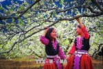 Xuân về trên cao nguyên Mộc Châu