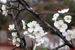 Hoa lê trắng giữa mùa xuân Hà Nội